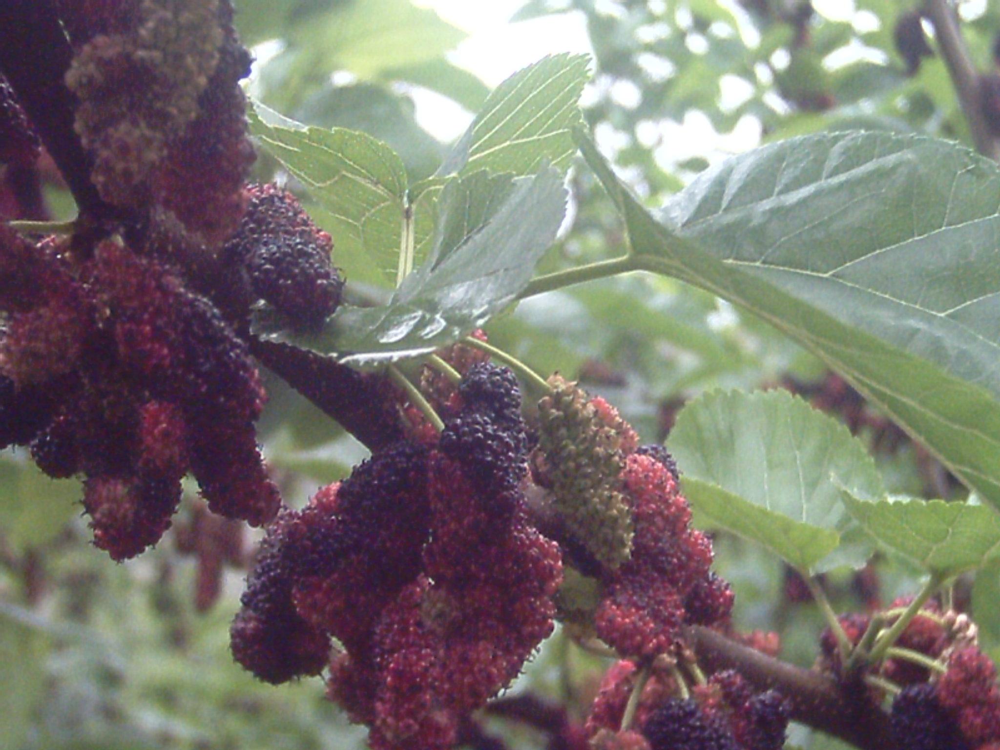 桑树新品种———果桑-果桑网